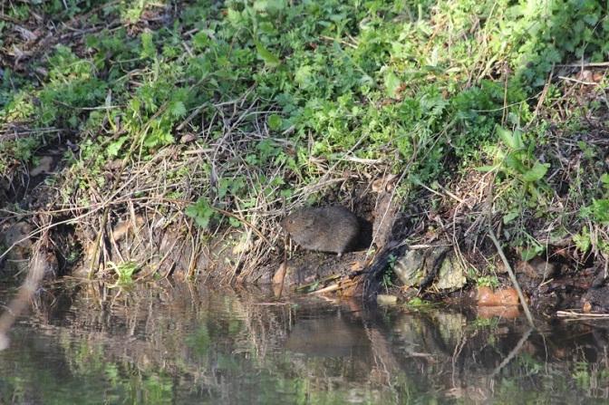 Campagnol amphibie (Arvicola sapidus)